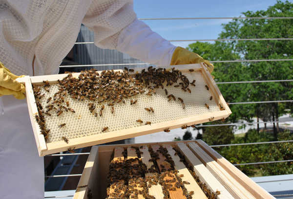 Photo courtesy of GT Honeybees